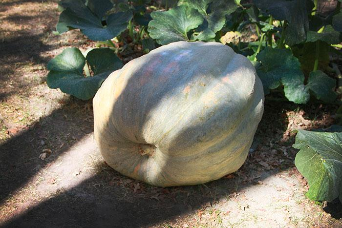 Horticulture Club to sell giant pumpkin
