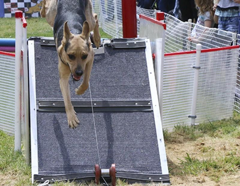 Sarah who is a mixed breed, took on the Doggie Obstical Course at Pet-A-Palooza on March 23, 2016.  The Doggie Obstical Course had a line of over 67 different dogs waiting to have their turn at Rusch Park in Citrus Heights, California. (Photo by Bailey Carpenter)