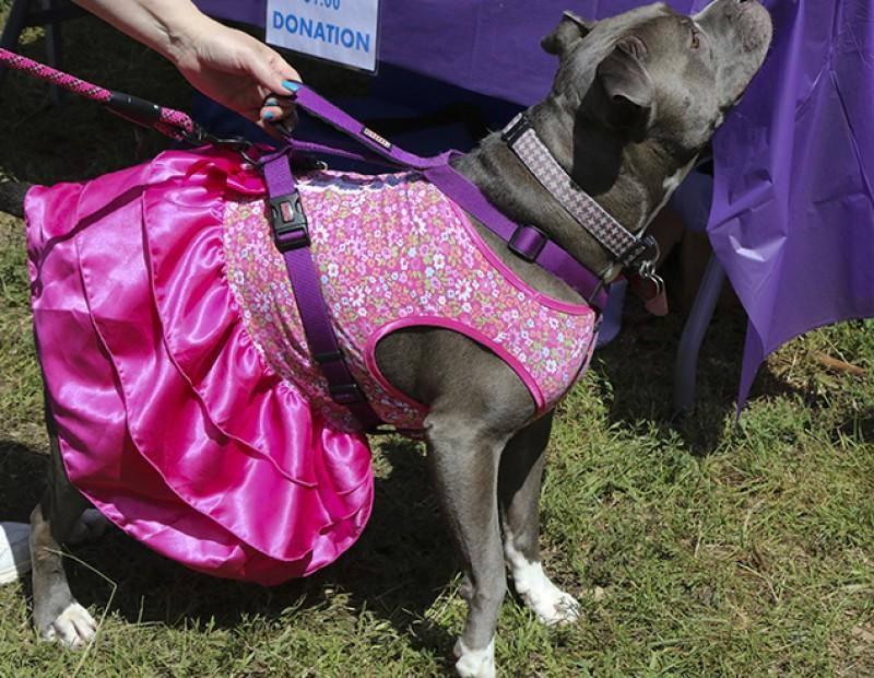 Lacy a Pit Bull was at the Pit Bull Rescue Station waiting her turn to play a game on MArch 23, 2016.  Pet-A-Palooza had many different dog rescue stations devoted to differnt type of dogs and cats. (Photo by Bailey Carpenter)