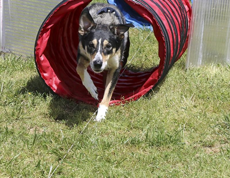 Anny a mix between Border Collie and German Shepherd emerges from the tunnels at the Doggie Obstical Course on March 23, 2016.  Pet-A-Palooza was heald at Rusch Park in Citrus Heights, California.  (Photo by Bailey Carpenter)