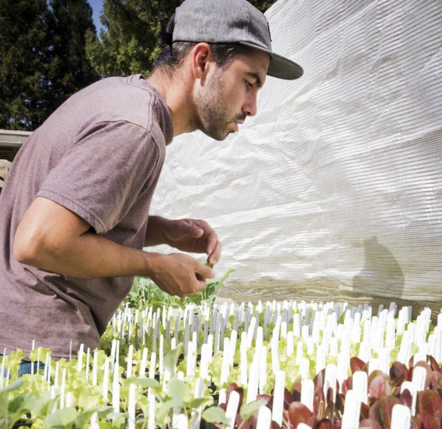Jared Whittle stands near several cauliflower plants  in the Horticulture Department at American River College on Oct. 10, 2017.