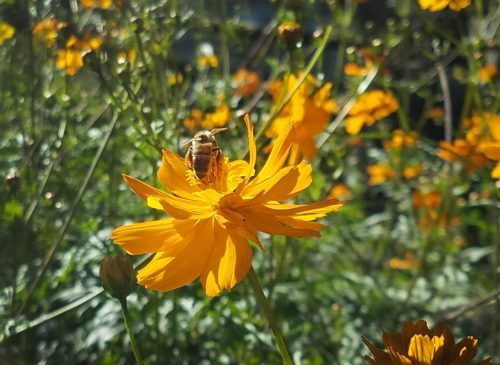 A bee lands on a orange flower in the Horticulture Department at American River College on Oct. 4, 2017. (Photo by Ashley Hayes-Stone)