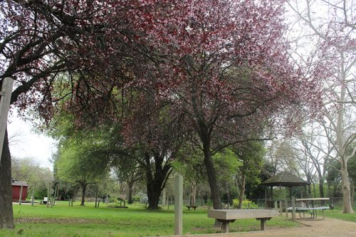 One of the trees located in the horticulture area of American River College's main campus blooming with red flowers March 20. (Photo by Michael Pacheco)