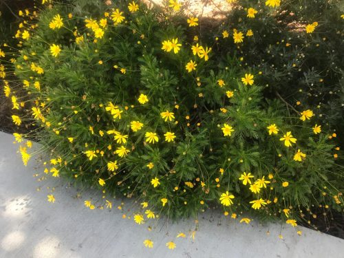 Yellow flowers bloom near the Beaver Bookstore at American River College on April 12, 2018. (photo by Alexis Warren)