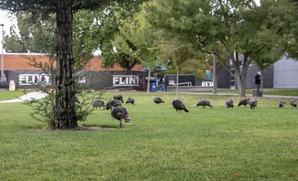 A flock of turkeys rummage for food near the Student Center at American River College on Oct. 2, 2013. (Photo by Tracy Holmes)