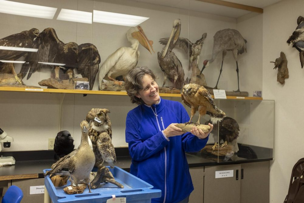Biology professor Kathryn Bradshaw holds a red-shouldered hawk in a biology classroom at American River College on Feb. 22. Bradshaw maintains the collection, most of which once belonged to a museum. (Photo by Ashley Hayes-Stone)
