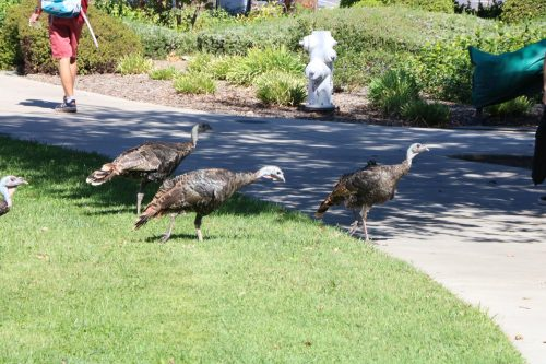 A group of turkeys make their way to the Fine & Applied Arts office at American River College on Sept. 23, 2019. (Photo by Thomas Cathey)