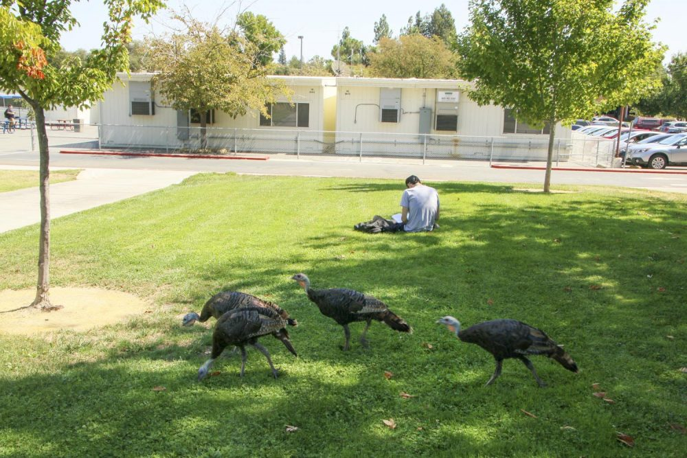 A rafter of turkeys roam near the Science building as a student studies at American River College on Sept. 9, 2019. (Photo by Bram Martinez)