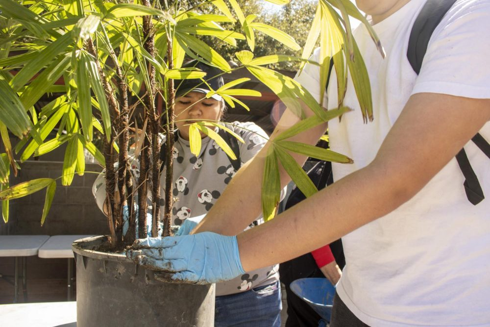 Horticulture majors Zachary Adams and Stephanie Estrada plant a lady palm rhapis excelsa for the Fall 2019 Plant Sale this weekend during the HORT 316 plant production class at American River College on Oct. 3, 2019. (Photo Colin Bartley)