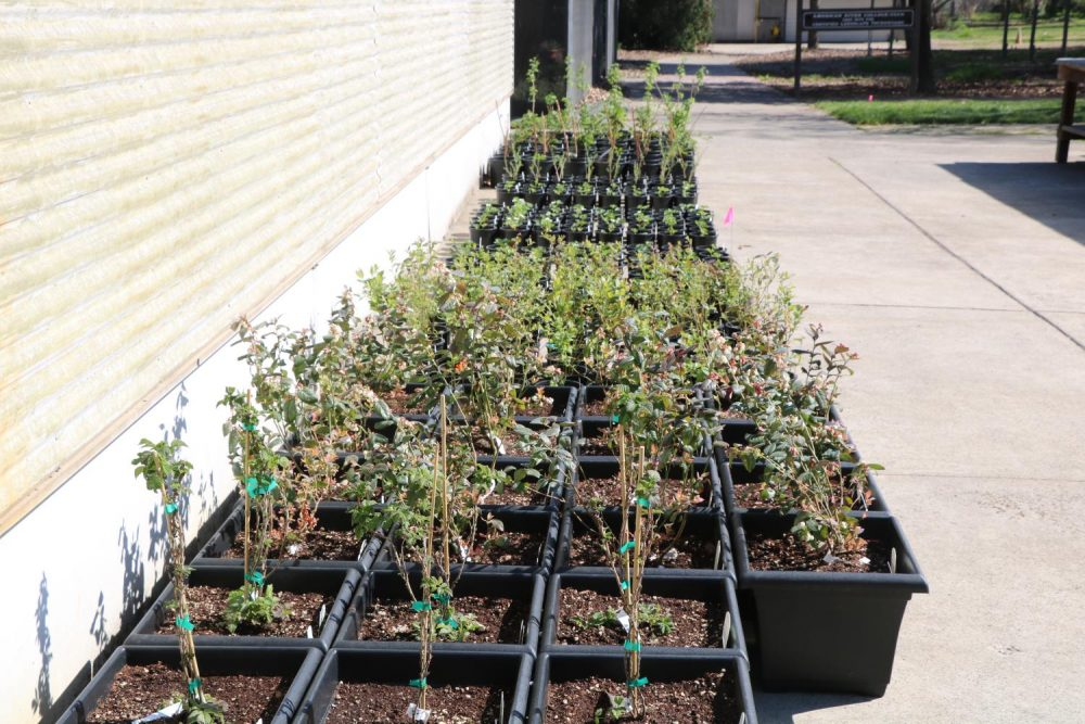 The Horticulture Department at American River College is currently prepping for its campus floral sale in April. Pictured here on March 4, 2020, are some plants that will eventually be featured in the sale. (Photo by Thomas Cathey)