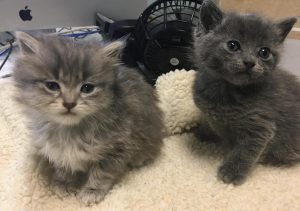 Two kittens that Sacramento Society for the Prevention of Cruelty to Animals (SSPCA) took into their animal shelter that are now up for adoption through their foster care program. SSPCA works to find homes for pets like these, even during the COVID-19 pandemic. (Photo courtesy of SSPCA)