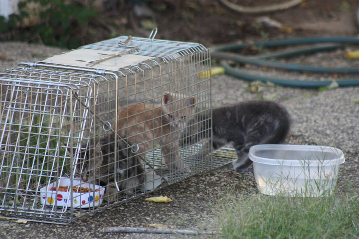 Feral kittens on the ARC campus are humanely trapped using the Trap-Neuter-Release (TNR) method by the Kitty Committee. (Photo courtesy of Becky Watts)