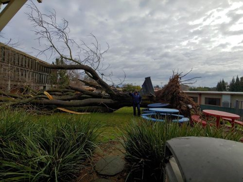 A storm knocked over a 60 year old tree, narrowly avoiding the Ranch House and the Portable Village. Director Cheryl Sears uses her body for scale after inspecting the damage. (Photo Courtesy of Cheryl Sears)